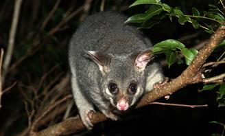 Photo of a possum in a tree