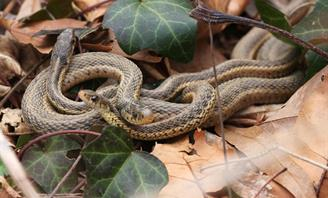 Photo of two snakes in foliage