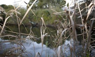 Photo of reeds in a wetland ecosystem