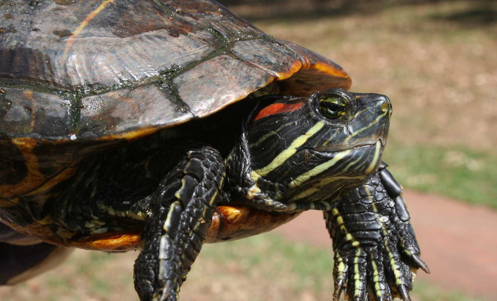 Red earred slider turtle