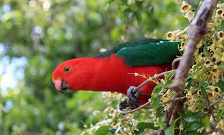 King Parrot perched in a tree