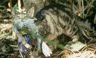 Photo of a feral cat eating a native bird